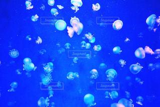 水クラ ゲの写真・画像素材[1366012]