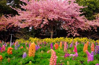 桜の写真・画像素材[440385]