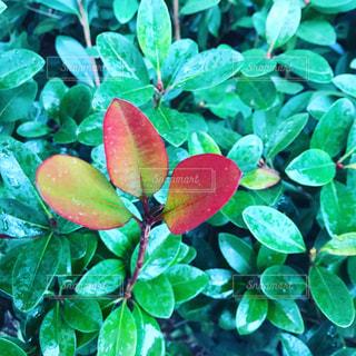 庭園の赤の植物の写真・画像素材[1005829]