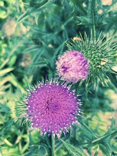 植物の紫色の花の写真・画像素材[1278594]