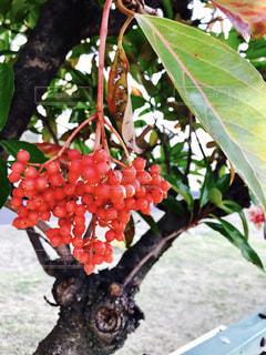 近くに果物の木のアップの写真・画像素材[1294931]