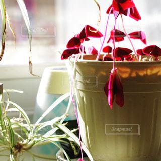 窓際の花の写真・画像素材[1083191]