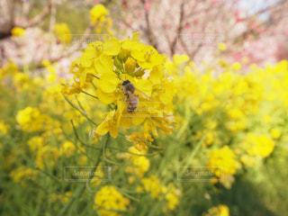 桜の写真・画像素材[441104]