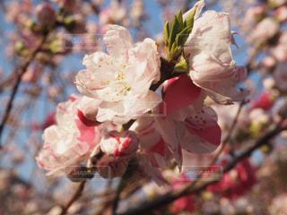 桜 - No.441105