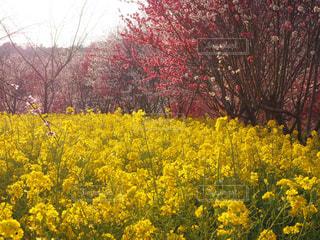菜の花の写真・画像素材[441107]