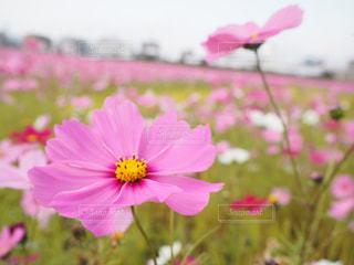 花畑の写真・画像素材[441130]