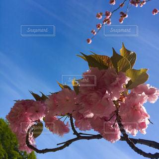 #桜 #八重桜 #春 #sakura #spring - No.441252