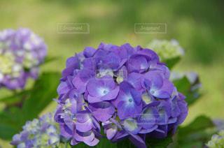 紫陽花の写真・画像素材[563829]
