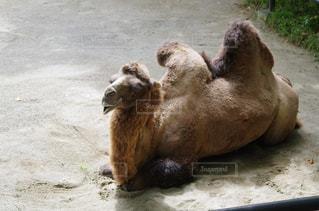 地面に座っているラクダの写真・画像素材[779112]