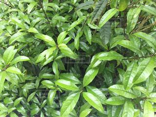 緑の葉の写真・画像素材[443008]