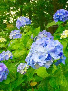 紫陽花の写真・画像素材[528518]