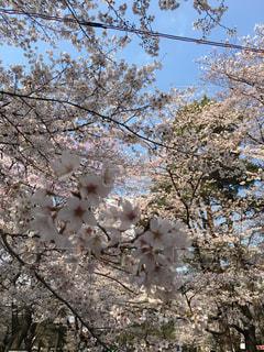 桜の写真・画像素材[441893]