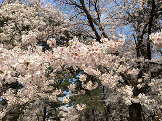桜の写真・画像素材[441896]