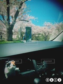 桜の写真・画像素材[15615]