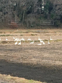 田んぼで休憩する白鳥の群れの写真・画像素材[929726]