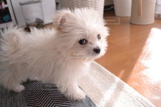 犬の写真・画像素材[442125]