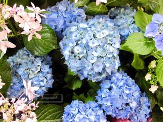 紫陽花のクローズアップの写真・画像素材[3011778]