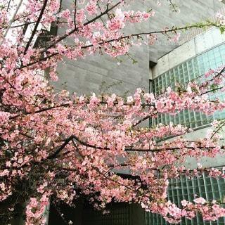 桜の写真・画像素材[10720]