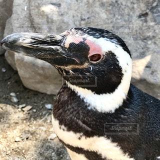 ペンギンの写真・画像素材[562254]