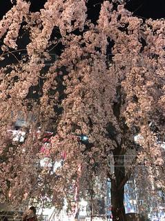 花見の写真・画像素材[443576]