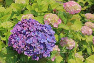 紫陽花の写真・画像素材[566187]