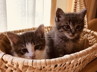 子猫兄妹の写真・画像素材[819002]