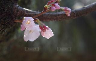 桜の写真・画像素材[445296]