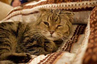 毛布の上に横になっている猫の写真・画像素材[1529868]