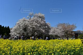 桜の写真・画像素材[446188]