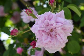 花の写真・画像素材[522955]