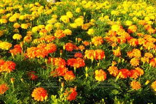 黄色とオレンジの花畑の写真・画像素材[800982]