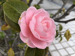 椿の咲く頃にの写真・画像素材[1076818]