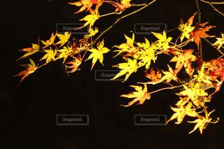 紅葉の写真・画像素材[448535]
