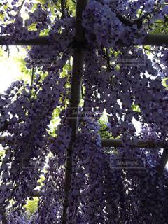 紫の写真・画像素材[455083]