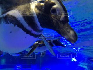 ペンギンの泳ぎの写真・画像素材[935141]