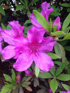 花の写真・画像素材[450146]