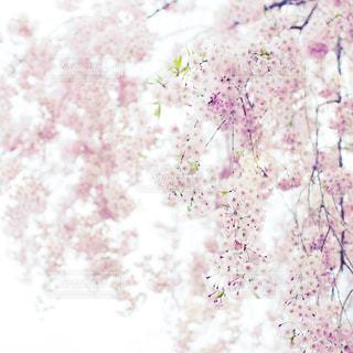 花の写真・画像素材[453299]
