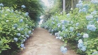 紫陽花の道の写真・画像素材[2500639]