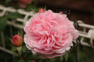 花の写真・画像素材[452248]