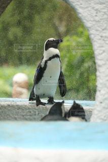 ペンギンの写真・画像素材[452680]