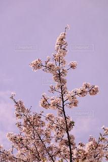 桜の写真・画像素材[1058400]