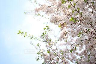 桜の写真・画像素材[1070102]