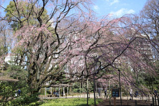 しだれ桜の写真・画像素材[1082437]
