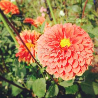 花の写真・画像素材[450927]