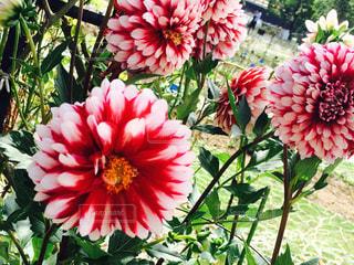 花の写真・画像素材[450935]