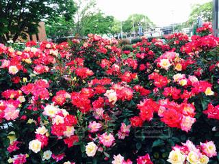 花の写真・画像素材[450974]