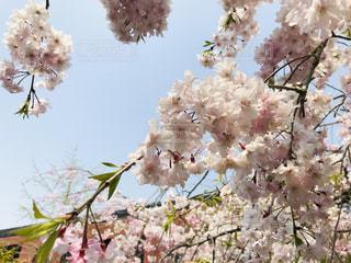 桜の写真・画像素材[2022778]