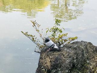 岩の上の鳩の写真・画像素材[2022781]