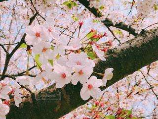 桜の写真・画像素材[2022791]