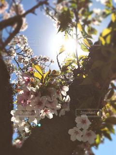 桜の写真・画像素材[473347]